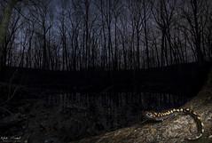 Hidden Gem (Nick Scobel) Tags: spotted salamander ambystoma maculatum michigan spring amphibian vernal pool breeding caudata caudate spots yellow color blotches colorful gem night