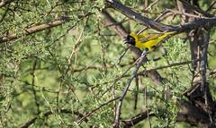 Lesser Masked Weaver (Kleingeelvink) (Sheldrickfalls) Tags: lessermaskedweaver kleingeelvink weaver ploceusintermedius coth5
