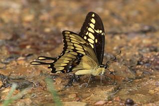 Thoas Swallowtail - Papilio thoas