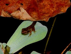 Changling on Leaf (hardmile) Tags: baby babies amphibian amphibians frog frogs salamander salamanders reptile reptiles wildlife nature beauty magic outdoors forest water animals