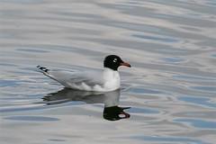 Mediterranean gull (record shot) (Knutsfordian) Tags: mediterranean gull sea bird gulls ichthyaetus melanocephalus