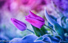 2 (frederic.gombert) Tags: tulip flower flora flowers light sun sunlight color colors colorful bloom blossom blooming spring macro nikon coth5
