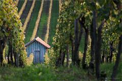 hut in the vineyard (klaus.huppertz) Tags: vine vineyard wein weinberg landschaft landscape natur nature hütte hut cabine reihe row kulturlandschaft cultivatedlandscape grün green nikon nikond7000 d7000 nikkor outdoor 18105mmf3556gvr