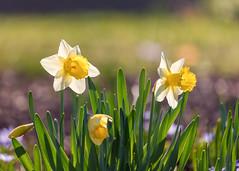Daffodils (mclcbooks) Tags: flower floral daffodil daffodils spring bulbs denverbotanicgardens colorado