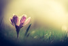 Soft Vision (der_peste (on/off)) Tags: flower macro proxy blur bokeh soft softness spring colors dof depthoffield shallowdepthoffield bokehlicious