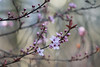 Blossom Branches (jillyspoon) Tags: canon70200 blossom twigs canon canon70d signsofspring depthoffield