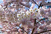 Cherry Blossoms 🌸 🌸 (SonjaPetersonPh♡tography) Tags: flowers trees spring blossom blossoms bc britishcolumbia canada floral pink petals coalharbour cherrytreeblossoms vancouver macro nikon nikond5300 springtime city downtownvancouver pinkflowers