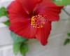 Vivid red hibiscus flower (Monceau) Tags: vivid red hibiscus flower macro bokeh smileonsaturday springflowers20172018