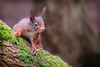 formby red 4 (stevehimages) Tags: steve steveh higgins warden wowzers 2018 red squirrel formby national trust nature fur endangered cute