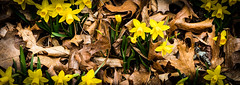 Daffodils (si_glogiewicz) Tags: spring seasons new life easter flowers leaves warm nature petals natural daffodil daffodils yellow brown fall autumn growth growing petal