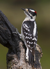 Downy Woodpecker, male (AllHarts) Tags: maledownywoodpecker backyardbirds memphistn naturescarousel thesunshinegroup avianexcellence