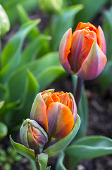 Rainbow Sherbet Tulips (s.d.sea) Tags: colorful tulips tulip bloom blossom bud grow plant plants garden roozengaarde skagit valley festival pentax k5iis macro 35mm pnw pacificnorthwest washington washingtonstate mount vernon rainbow floral flower flowers green