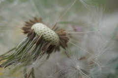 Letting go... (Shelby's Trail) Tags: dandelion seed fluff oneatatime