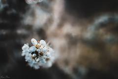 Flor de peral (mariusbucsa) Tags: flor primavera peral arbol blanca naturaleza parque paseo nikkor35mm18g nikkor nikon nikond5600 calatayud españa es aragón