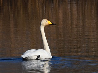 Cisne-bravo / Whooper Swan