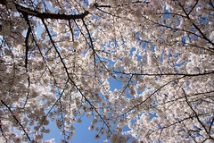 Cherry Trees with White Blossom - Strasbourg France (2) (Cloudwhisperer67) Tags: france strasbourg fantastic amazing asiatic bleu sous cerisier les cerisiers en fleurs under cherry blossoms sakura blossom plant nature universe world monde sunny sun soleil gorgeous ncredible landscape scape great blue fun photography lovely love spring time flowers flower sky alsace cloudwhisperer67 europe white europa 2018 canon 760d photo bloom blooming april city