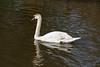 Swan on River Wey-E4060268 (tony.rummery) Tags: bird canal em10 guildford juvenile mft microfourthirds nationaltrust navigation omd olympus river swan wey woking england unitedkingdom gb