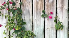 Weathered Wood Fence (LarryJay99 ) Tags: easter flowers colors iphone7 2018 plants pl blooms greenery nature color picketfence lakeworth florida nail holes nailholes weathered worn woodgrain woodtexture lines verticals bougainvillea foliage