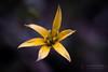 Spring Power (Thomas TRENZ) Tags: austria nikon tamron thomastrenz vienna d600 flower iamnikon macro nature nikonat nikonlove spring yellow