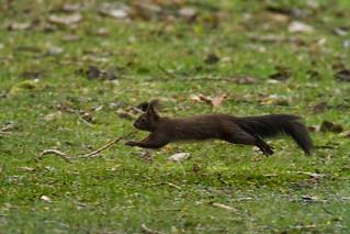 Squirrel/ Eichhörnchen