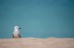 Audouin's Gull (Peter Quinn1) Tags: audouinsgull mallorca mediterranean bokeh turquoise arta