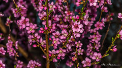Peach tree blossoms (Milen Mladenov) Tags: 2018 d7200 nikon blooming branches floral flower flowers garden nature naturephotography peachtree peachtreeblooming peachtreeblossom pink pinkflowers plant spring