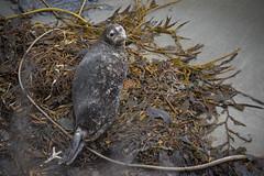 21709-point lobos seal (oliver.dodd) Tags: california pointlobos park harborseal seal