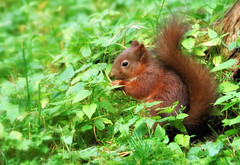 Red Squirrel (robin denton) Tags: wildlife nature wensleydale yorkshiredalessquirrel redsquirrel yorkshiredales autumn forage foraging animal yorkshire northyorkshire sciurusvulgaris moss yorkshiredalesnationalpark nationalpark squirrel yorkshirewildlifetrust mammal inthewild