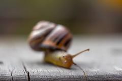 Snail eye. (agnieszka.a.morawska) Tags: bokeh beyondbokeh bkhq bokehlicious helios44m helios spring macro dof ślimak snail