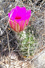 CAE011773a (jerryoldenettel) Tags: 180413 2018 cactaceae caryophyllales coreeudicots donaanaco echinocereus echinocereusfendleri fendlerhedgehog nm rincon roade016 strawberrycactus