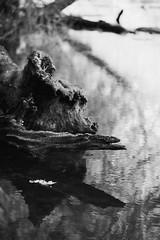 autumn at Raven Rock State Park 19 (furrycelt) Tags: capefearriver capefear northcarolina ravenrockstatepark sigma105mmf28 sigma105mmf28exdgmacro blackandwhite ianwilson jianwilson photographersoftumblr d600 nikon river sigma autumn forest furrycelt leaves monochome natural nature november park reflection tree trees water woods