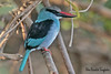 BLUE-BREASTED  KINGFISHER //  HALCYON  MALIMBICA  (25cm) (tom webzell) Tags: naturethroughthelens u