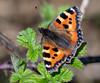 Small Tortoiseshell - Aglais urticae (ArtFrames) Tags: small tortoiseshell aglais urticae uk butterfly lepidoptera colours bramble sunshine