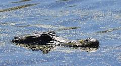 a lmn  gator DSC_0127 (eustatic) Tags: basa wildlife grn lmn