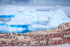 Antarctica-111124-944 (Kelly Cheng) Tags: antarcticpeninsula antarctica gentoopenguin pleneaubay pleneauisland animals color colorful colour colourful day daylight fauna horizontal iceberg landscape nature nopeople nobody outdoor penguins sea seacape sunny sunshine tourism travel traveldestinations vivid white