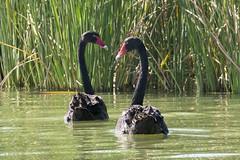 Bllack Swan - Loch Luna Game Reserve - Australië (wietsej) Tags: bllack swan loch luna game reserve sony rx10 rx10m4 iv bird nature australia australië
