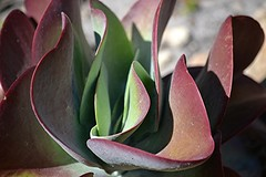 Flapjack succulent... a delicious range of greens, reds and purples (jungle mama) Tags: flapjacksucculent flapjack succulent red purple greenundulate burgundy kalanchoe kalanchoethysiflora paddleplant esertcabbage dogtongueplant tropicalsucculent