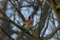 Putter (jehazet) Tags: cardueliscarduelis bird goldfinch jehazet