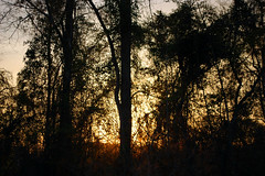 Sun Setting Behind Trees. (dccradio) Tags: lumberton nc northcarolina robesoncounty outside outdoors evening lateafternoon dusk sky bluesky colorfulsky eveningsky tree trees treelimbs treebranches woods wooded forest backyard branches branch sticks nature natural nikon d40 dslr sunset settingsun