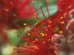 The last Pohutukawa Flowers of the season in Auckland (Christian Chene Tahiti) Tags: samsung s7e téléphone mobile pohutukawa nzchristmasflower pollen jaune macro auckland newzealand flower garden automne fleur flores fleurdenouvellezélande nz nouvellezélande jardin flore flor extérieur voyage travel closer closeup rouge red pink vert bokeh flora