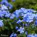 Plumbago auriculata (Blue Plumbago)