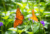 Double Delight (christyhuber) Tags: orange butterfly nature flower