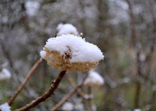 Snow covered Edgeworthia blossom