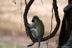 Monkey aerobics (leendert3) Tags: leonmolenaar wildlife nature southafrica krugernationalpark mammals vervetmonkey ngc npc coth5