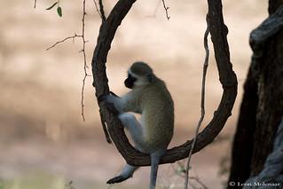 Monkey aerobics
