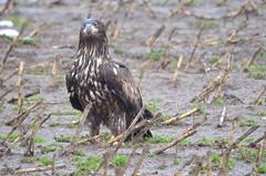 Juvenile Bald Eagle (Neal D) Tags: bc abbotsford sumasprairie bird eagle baldeagle juvenile haliaeetusleucocephalus