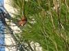 DSC_0488 (tracie7779) Tags: pinetree ranchopalosverdes terranearesort hummingbird