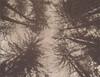 Redwood Gate Treetops, Oakland (H Polley) Tags: polaroidweek roidweek polaroid packfilm chocolate chocolatefilm oakland redwoodgate redwoods trees expiredfilm 360landcamera type100