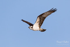 Male Osprey landing sequence - 2 of 28
