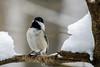 Black-capped Chickadee (WayNet.org) Tags: bird chickadee wayne county hayes arboretum indiana waynetorg snow hayesarboretum waynecounty richmond unitedstates us
